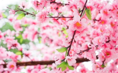 Sakura, la flor japonesa